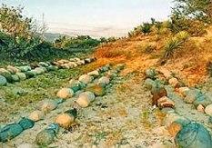 Nghĩa trang (Ghur Girai Neh) của người Chăm ở Ninh Thuận. Courtesy Kiều Maily