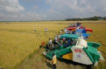 Các doanh nghiệp xuất khẩu gạo đang triển khai mua lúa tạm trữ vụ đông xuân