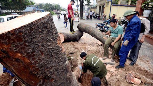 Gỗ từ các cây xanh bị chặt sẽ có thể được 'bán đấu giá' sớm, theo một số tờ báo ở Việt Nam.
