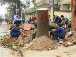 Một cây xanh lớn còn rất tươi tốt bị chặt trên đường Nguyễn Chí Thanh ngày 19/3/2015 Ảnh: Nguyễn Hưởng/NLĐ