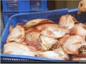 Cá điêu hồng thối được ướp hóa chất chở vào bếp ăn trường học
