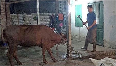 Báo Sydney Morning Herald đăng ảnh chụp tại một lò mổ Việt Nam, ảnh do tổ chức Animals Australia gửi lên Bộ Nông nghiệp Úc