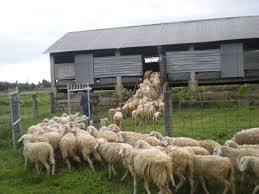 Bầy cừu. Ảnh: internet