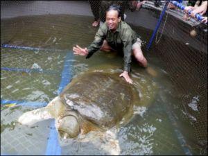 Hình chụp rùa Hồ Gươm hồi 2011