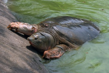 Rùa Hồ Gươm. Ảnh: internet