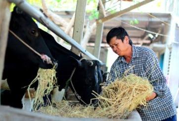 Nông dân nuôi bò sữa còn khó khăn trong việc bán sữa (ảnh minh họa). Nguồn: internet