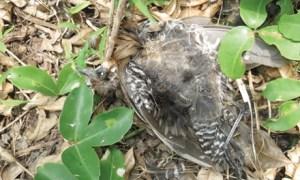 Xác chim và lông chim vương vãi khắp đảo. Ảnh: TP