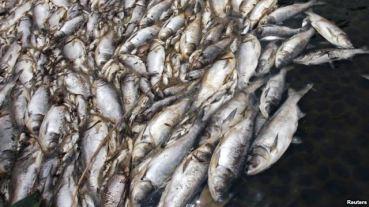 Hàng tấn cá chết đã trôi dạt vào các bờ biển Hà Tĩnh, Quảng Trị, Quảng Bình, và Huế. Ảnh: Reuters
