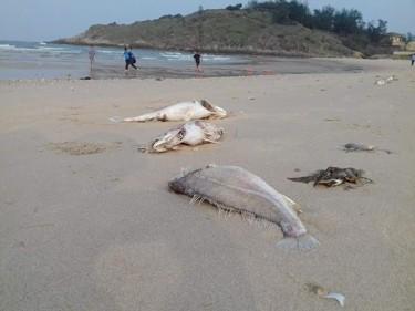 Cá chết bất thường ở vùng biển miền Bắc Trung Bộ. Ảnh: Quang Tiến/zing.vn