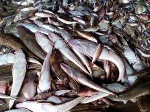 Cá chết hàng loạt ở biển miền Trung. Nguồn: internet