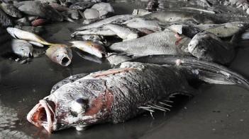 Cá chết hàng loạt ở bờ biển miền Trung. Nguồn: internet