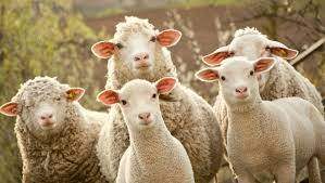 Những chú cừu im lặng. Nguồn: internet.