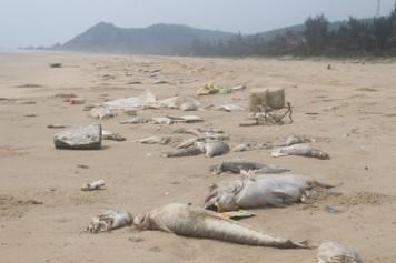 Cá chết trắng biển Quảng Bình sau khi Formosa xả thải gây nhiễm độc biển. Ảnh: Trần Tuấn