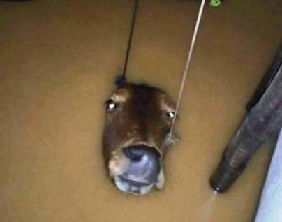 Mắt bò. Ảnh: internet