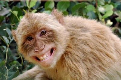 Khỉ cũng phải cười với cái trò khỉ này. Ảnh: internet